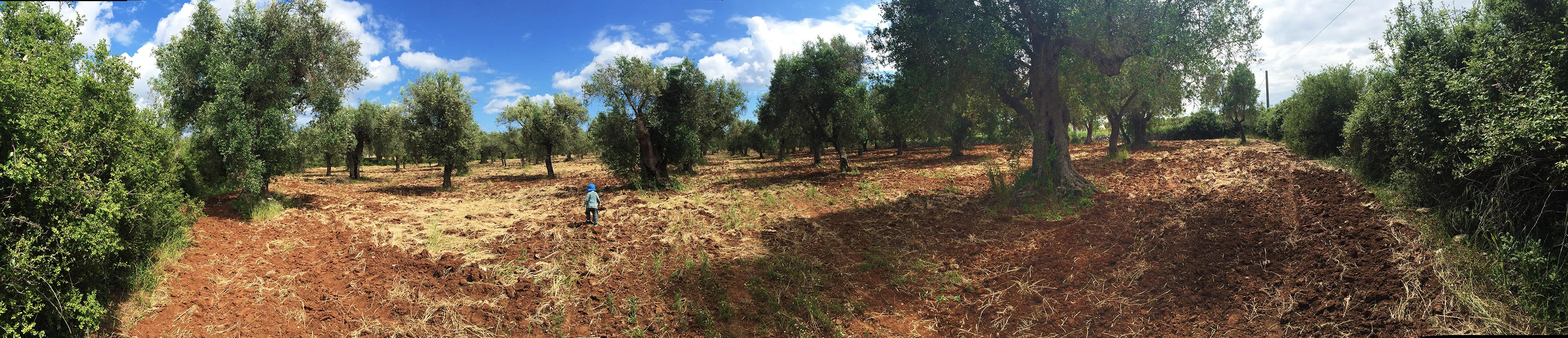 puglia-olivefields